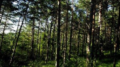 Bosque de pinos en la Serra de Prades.