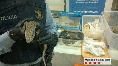 Los Mossos decomisan 21 reptiles 'sin papeles' a un vecino de Sant Quirze Safaja