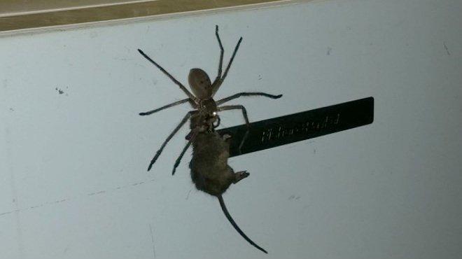 Arrasa en Facebook el v�deo de una ara�a cazando a un rat�n.