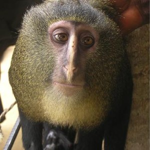 Un ejemplar de lesula, la especie de mono recin descubiertqa en el Congo.