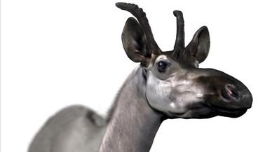 Una girafa a la sabana madrilenya de fa nou milions d'anys