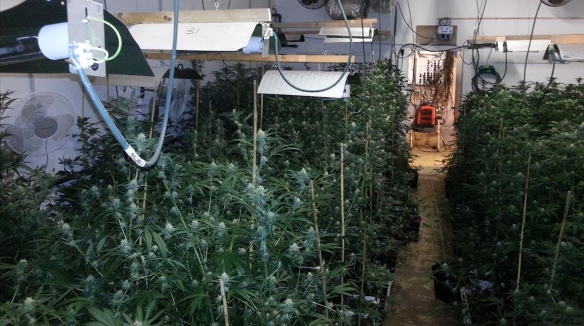 La plantación de marihuana hallada en la nave del paseo Ferrer i Vidal de Barcelona.