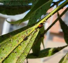 larva-i-adult-de-marieta-menjant-pulgo