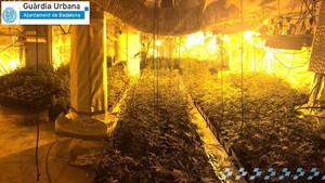 Desmantelada una plantación de marihuana en Badalona.