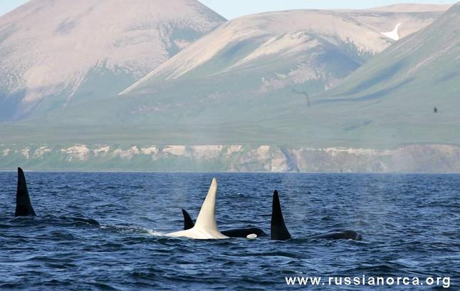 Primeras imágenes de una orca albina