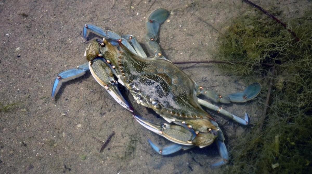 Un nuevo cangrejo invasor se extiende por el Mediterráneo
