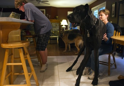 El dogo alemn gigante Zeus, rcord Guinnes, en su casa de Michigan.