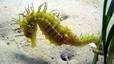 Alerta por la reducción de caballitos de mar en el Mediterráneo