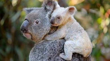 Una koala salva a su cría, atrapada en una alambrada de espino