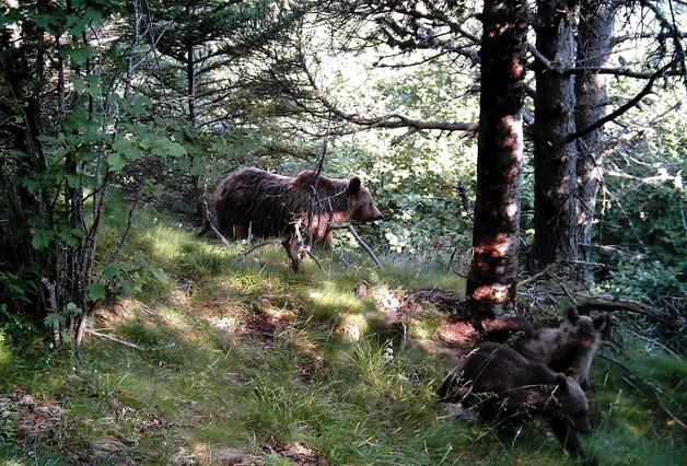 Neixen quatre cries d'ós bru als Pirineus