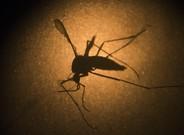 El mosquito Aedes aegypti, transmisor del virus del zika.