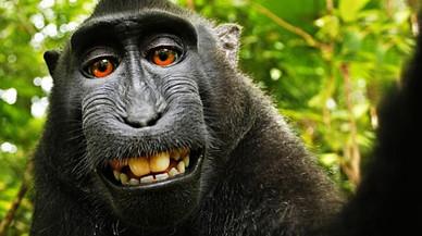 Nou capítol en la batalla legal pels drets d'autor del 'selfie' del macaco Naruto