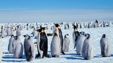 El pingüí emperador té els dies comptats si es fon l'Antàrtida a final de segle