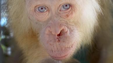 Descubierto un orangután albino en la isla de Borneo