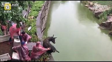 Els cuidadors d'un zoo llancen un burro viu als tigres
