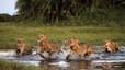 Un grupo de leones cruza un arroyo en Botsuana.