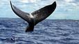 Les cries de balenes geperudes xiuxiuegen a les seves mares per salvar-se de les orques