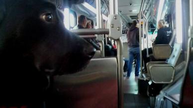 Eclipse, la perra que va en bus y que se ha convertido en toda una celebridad en Seattle