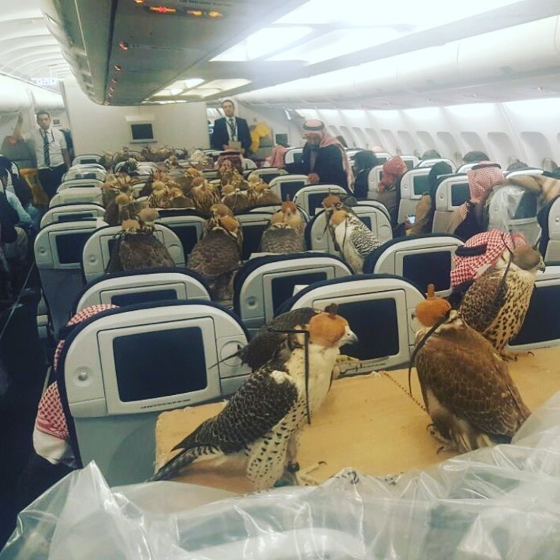 80 halcones en primera clase en un avión 80 hawks in first class on an airplane