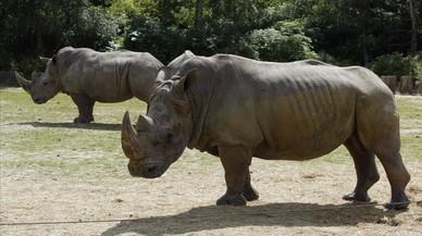 Unos furtivos matan a un rinoceronte en un zoo de Francia para llevarse el colmillo