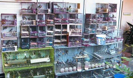 Algunos de los pájaros hallados por la Guardia Civil en una casa de Terrassa.