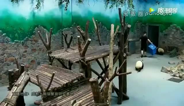 El maltractament a uns cadells d'os panda a la Xina encén les xarxes