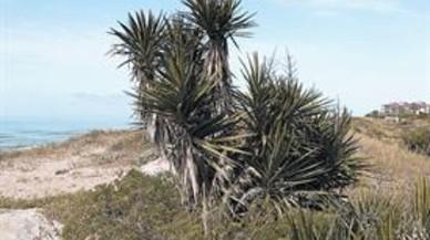 Plantas invasoras. Colonizan las dunas y desplazan y eliminan el borrón