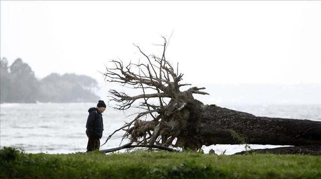 Árbol derribado por el viento en Cabanas (A Coruña).
