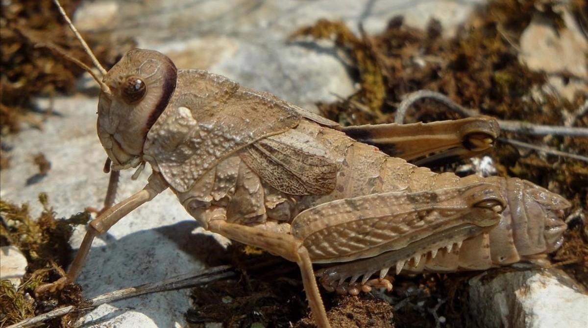 Descubierta en el Anoia una nueva especie de langosta
