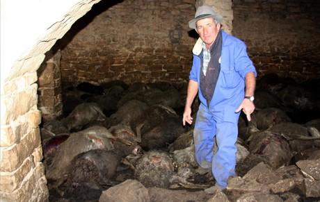 El propietario de la granja, Ramon Agust�, junto a los animales fallecidos en el ataque de la semana pasada.