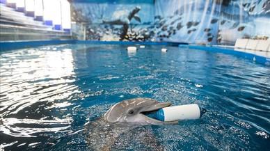 Uno de los cuatro delfines que a�n conserva el Zoo de Barcelona, en el tanqueprincipal.