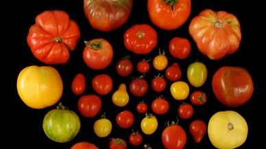 Variedades de tomate analizadas en busca de los genes que favorecen la emisión de compuestos volátiles agradables.