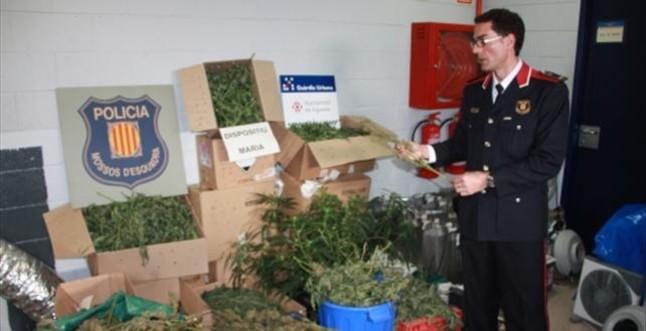 Incautadas 3.000 plantas de marihuana en 8 viviendas de Figueres