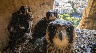 Tres de los halcones nacidos esta primavera en la Sagrada Familia de Barcelona.