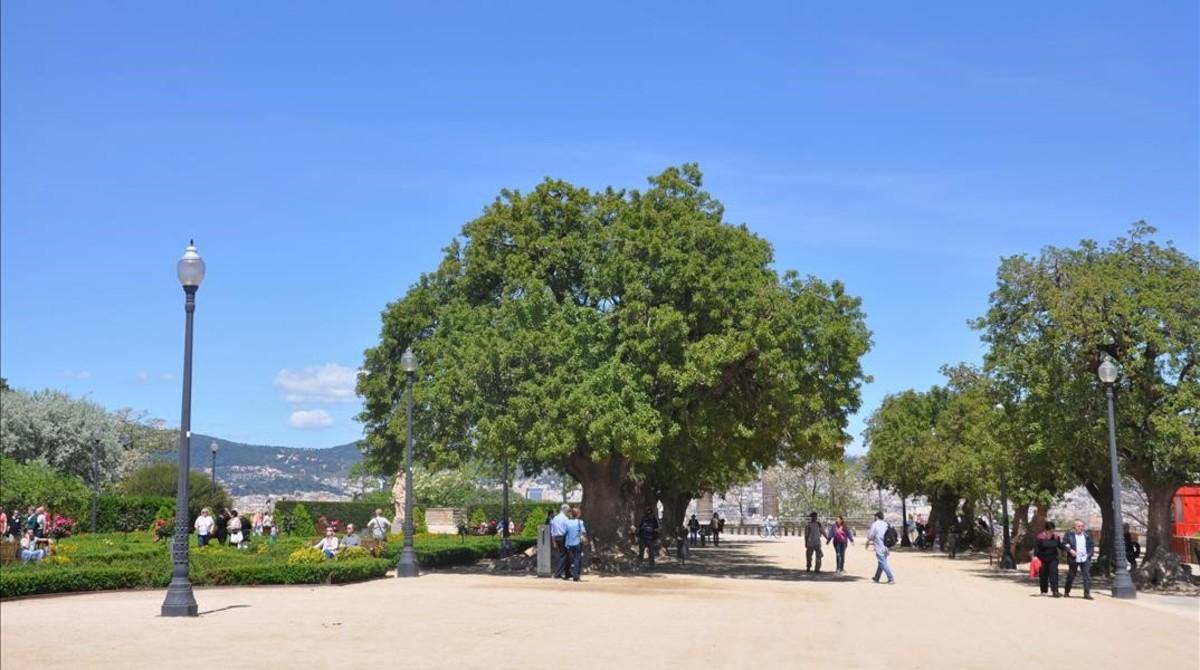 Los 160 rboles m s sorprendentes de barcelona for Cuanto miden los arboles