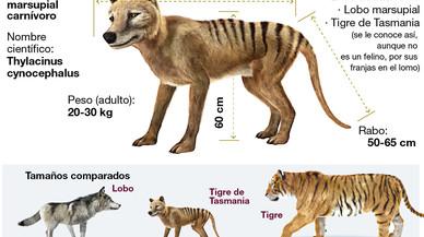 El 'regreso' del tigre de Tasmania