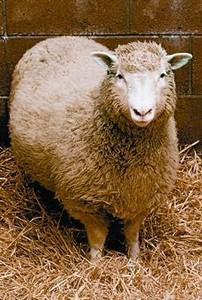La oveja Dolly, el primer mamífero clónico.