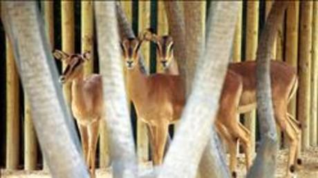 Impalas de cara negra del Zoo de Barcelona.