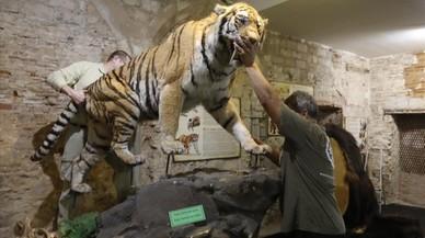 Traslado de la reproducci�n del tigre dientes de sable, este lunes en el Museo del Mamut.