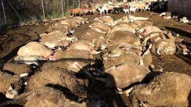 Dos gossos perillosos causen una matança de bestiar a Matadepera
