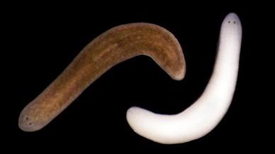 Dos ejemplares de la planaria Schmidtea Mediterranea una de la cual ha cambiado de color tras la exposicion prolongada a la luz