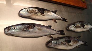 Alerta por la proliferación de un pez globo muy tóxico en Canarias