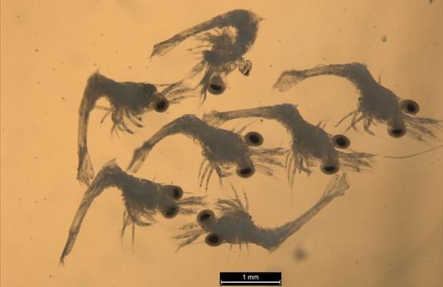 Detectadas por primera vez larvas de un crust�ceo invasor en el Mediterr�neo