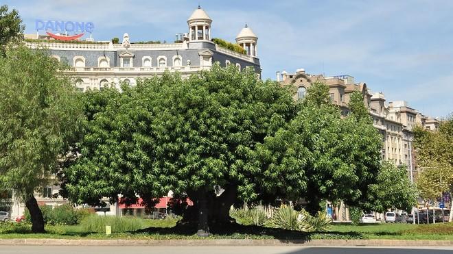 La bellasombra de la plaza de Francesc Macià