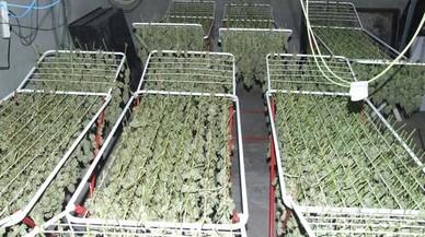 Desarticulada una prolífica plantació de marihuana a Terrassa