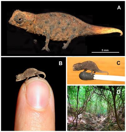 Descubierto el camaleón más pequeño del mundo