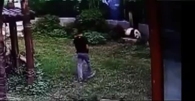 Un panda gegant dóna una lliçó a un jove que salta a la seva gàbia en un zoo de la Xina