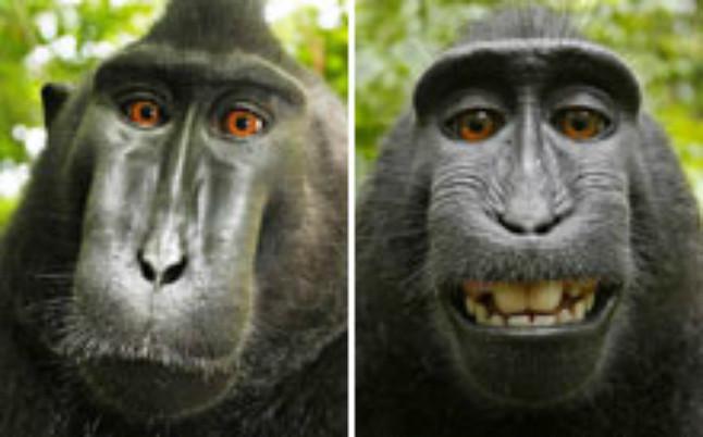 Wikipedia se niega a borrar el 'selfie' de un mono