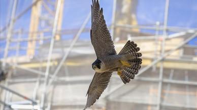 Nova gereració de falcons a Barcelona