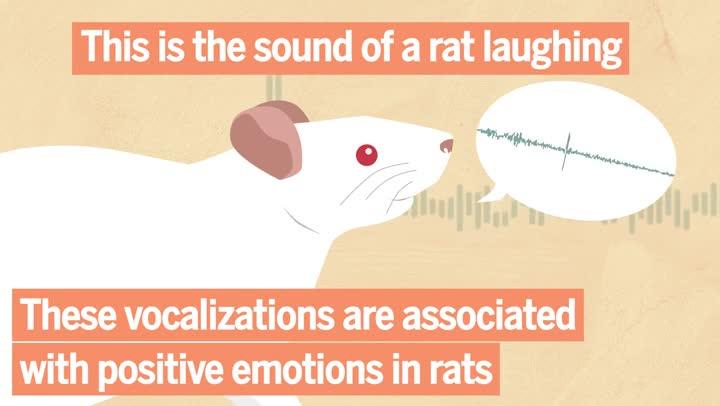 Ratas que rien cuando reciben cosquillas